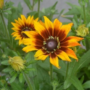 Rudbeckia 'Summerina Yellow' 3L