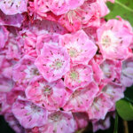 Kalmia latifolia 'Bridesmaid' 3L