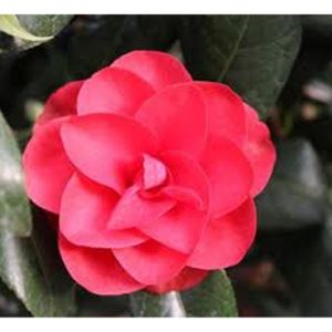Camellia japonica 'Ace of Hearts' 3L