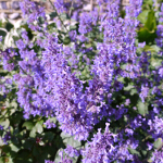 Nepeta grandiflora 'Summer Magic' 2L