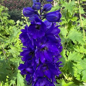Delphinium 'Dark Blue Black Bee' (Excalibur Series) 3L