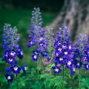 Delphinium 'Dark Blue White Bee' (Excalibur Series) 3L
