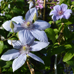 Clematis 'Bernadine' (syn 'Evipo061) 3L