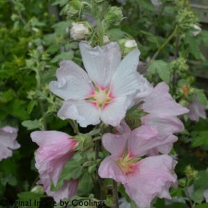 Lavatera x clementii 'Silver Barnsley' 3L