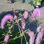 Sanguisorba 'Lilac Squirrel' 2L