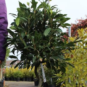 Bay Tree Laurus nobilis (AGM) 1/2 Std Spiral-Stem £79.99