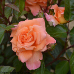 Rosa 'Scent from Heaven' (Climber) 4L