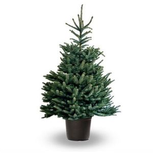 Blue Spruce (Pot Grown) 50-60 10L