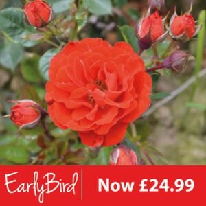 Rosa 'Orange Sunblaze' (Mini Standard) 10L