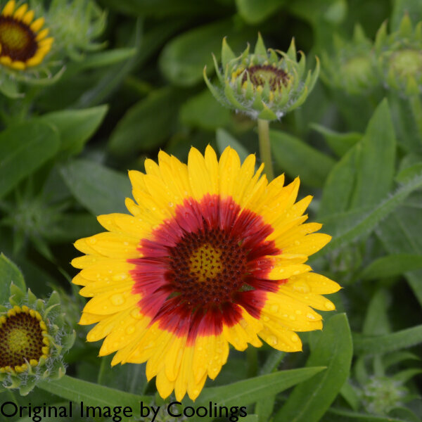 Gaillardia 'Mesa Bright Bi-Colour' 3L
