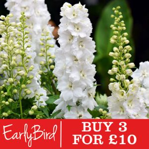 Delphinium 'Magic Fountains Pure White' 1L