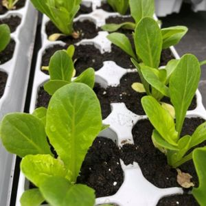 Lettuce 'Little Gem' Multi-Pack