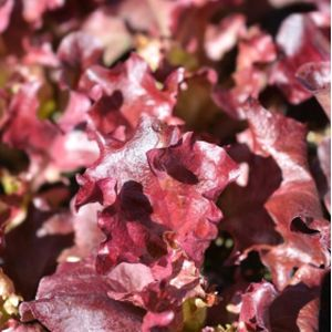 Lettuce 'Lollo Rossa' Multi-Pack