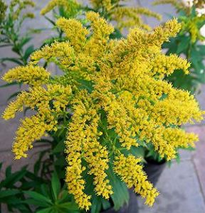 Solidago 'Crown of Rays' 3L