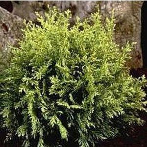 Chamaecyparis lawsoniana 'Cream Crackers' 1L