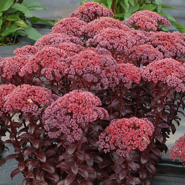 Sedum 'Dark Magic' 2L