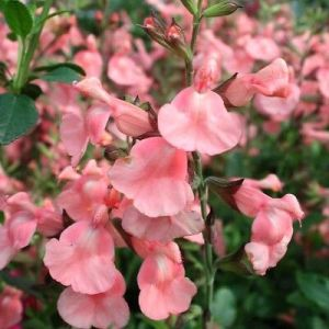 Salvia 'Salmon Dance' 2L