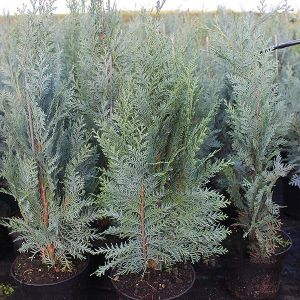 Chamaecyparis lawsoniana 'Cream Crackers' 3L