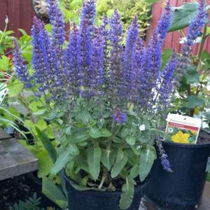 Salvia nemorosa 'Sensation Blue' 3L