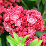 Kalmia latifolia 'Nancy' 3L