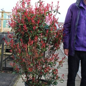 Photinia x fraseri 'Carré Rouge' 25L
