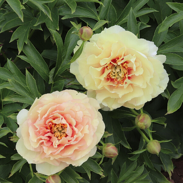Paeonia itoh 'Canary Brilliants' 7L