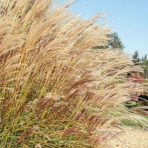 Miscanthus sinensis 'Cute One' 3L