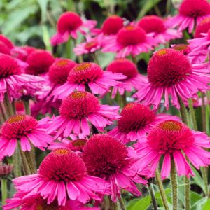 Echinacea 'Delicious Candy' 2L