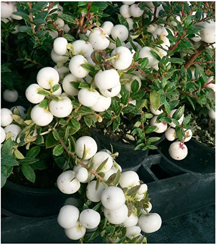Gaultheria (syn. Pernettya) mucronata 'Snow White' 3L
