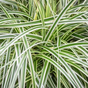 Carex 'Feather Falls' 2L
