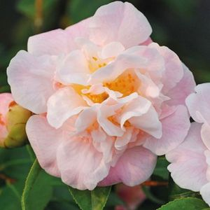 Camellia 'High Fragrance' 3L