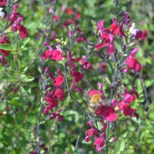 Salvia greggii 'Cherry Lips' 2L