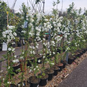 Exochorda x macrantha 'The Bride' (AGM) 7.5L
