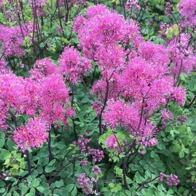 Thalictrum 'Little Pinkie' 3L