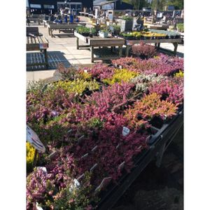Promotion Heathers 9cm (10 For £12)