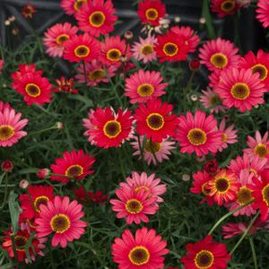 Argyranthemum 'Madeira Single Red' 1L