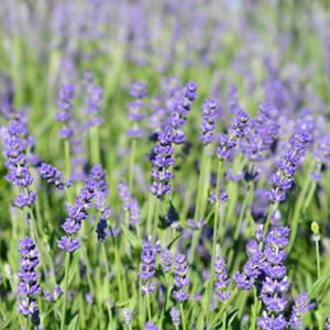 Lavandula angustifolia 'Essence Purple' 2L