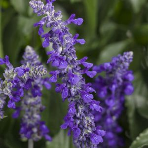 Salvia 'Rocking Sky Blue' 2L