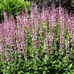 Salvia nemorosa 'Salute Light Pink' 3L