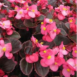 Begonia F1 Dark Leaf Pink Multi-Pack