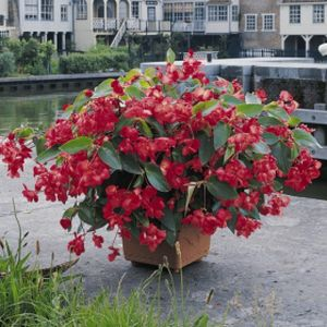 Begonia F1 'Dragon Wing Red' (AGM) Multi-Pack