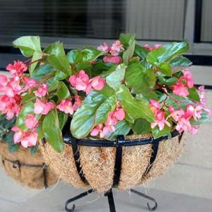 Begonia F1 'Dragon Wing Pink' (AGM) Multi-Pack