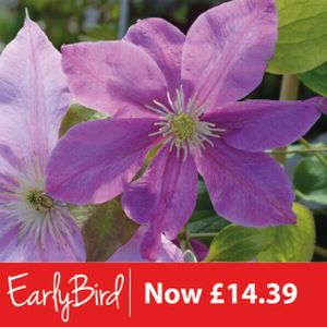 Clematis 'Amazing Oslo' 3L