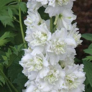 Delphinium 'Green Twist' (New Millennium Series) 2L