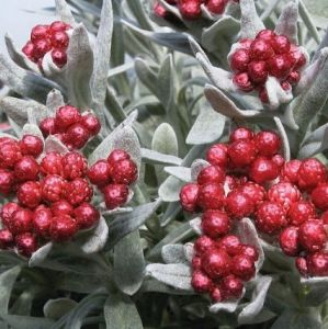 Helichrysum amorginum 'Red Jewel' 2L