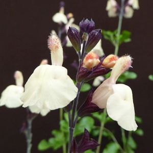 Salvia x jamensis 'Melon Cove' 2L