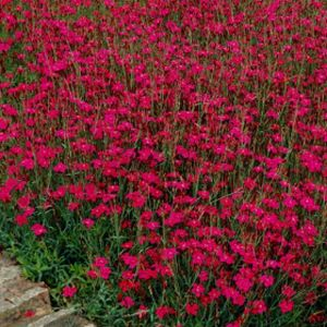 Dianthus 'Flashing Lights' 2L