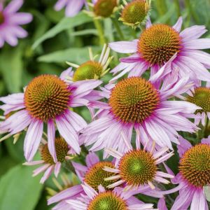 Echinacea 'Papallo Classic Deep Rose' 2L