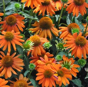 Echinacea 'Papallo Classic Orange Rose' 2L