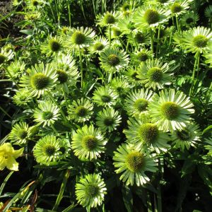 Echinacea 'Sunseekers Apple Green' 3L